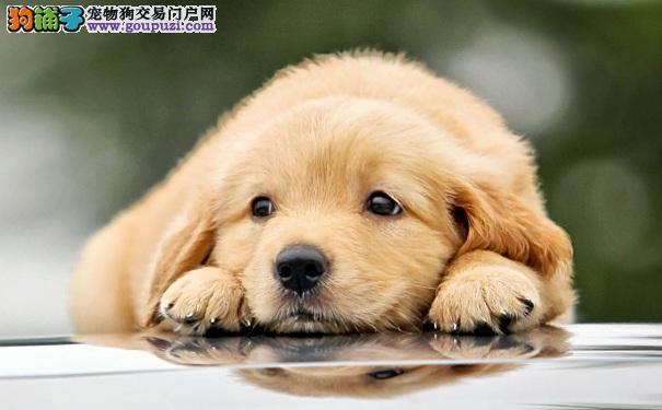 怎样选购健康优质的金毛寻回犬