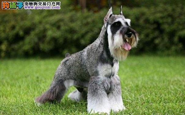 什么是巨型雪纳瑞犬 巨型雪纳瑞的鉴别方法