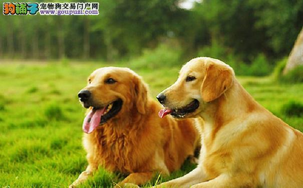 金毛寻回犬的鉴别方法和喂养建议