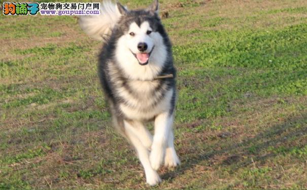 买优质的阿拉斯加雪橇犬的方法 必须要全面考察
