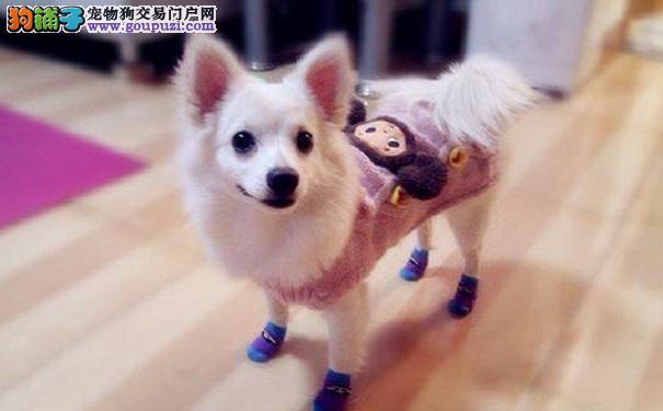在哪里购买银狐犬比较好 买银狐犬的注意事项