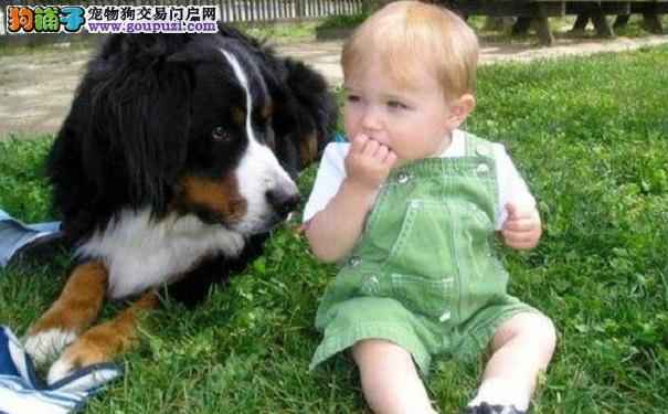 了解活泼自信的保姆狗伯恩山犬的性格特点