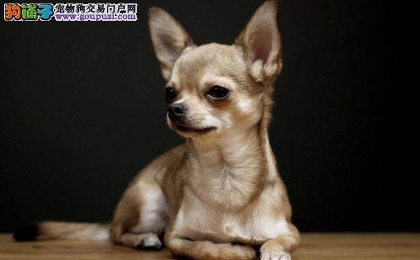 了解吉娃娃犬的由来以及性格特点