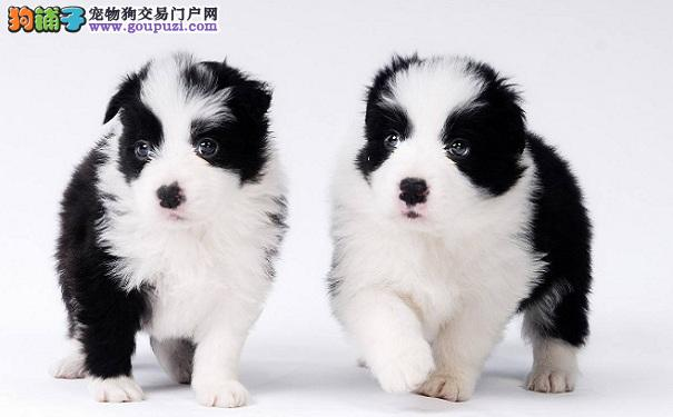 哪些宠物狗没有体味 体味最轻狗狗大全