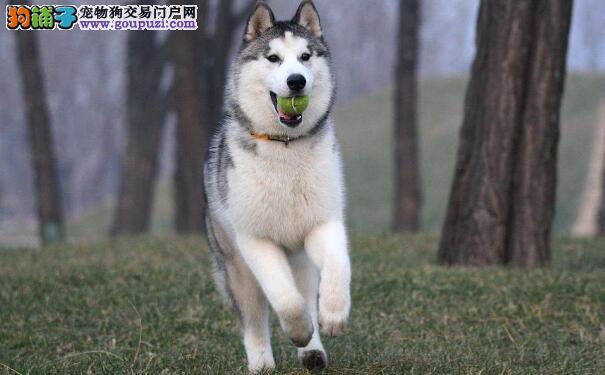 如何辨别纯种哈士奇犬 纯种哈士奇的特征