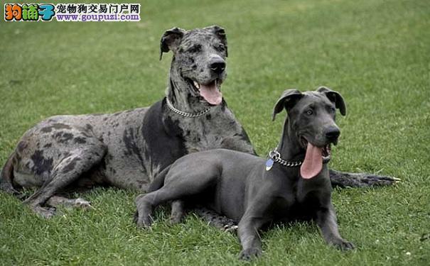购买大丹犬的注意事项 第一次买大丹犬的常识