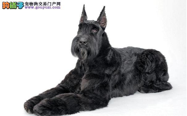 巨型雪纳瑞犬的价格 影响雪纳瑞犬价格的因素