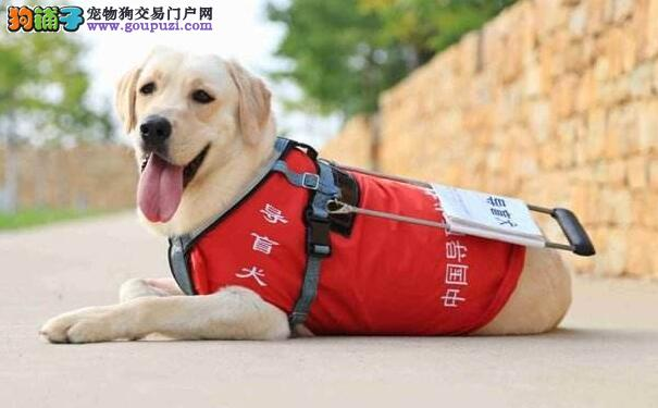 导盲犬多少钱一只 有哪些狗可以做导盲犬