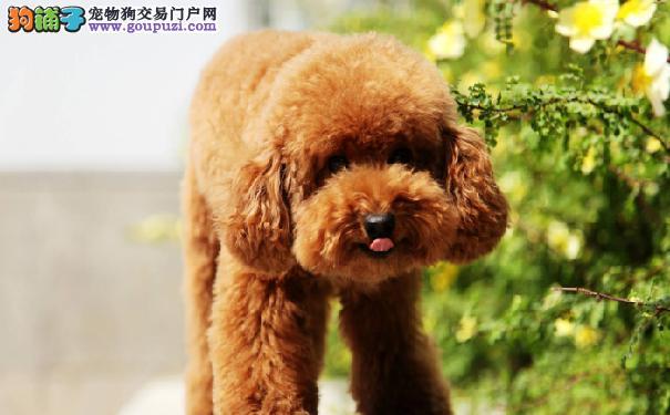 选购泰迪犬的小诀窍 泰迪犬价格受到地区的影响而不同