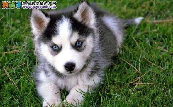西伯利亚雪橇犬赛级犬的价格 决定哈士奇价格的因素