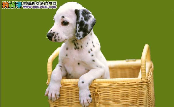 如何挑选斑点狗幼犬 挑选大麦町犬的方法