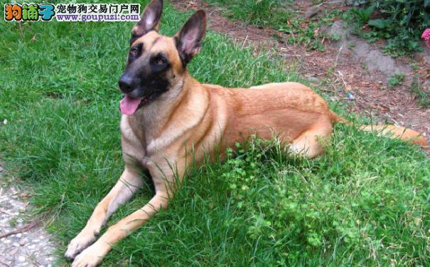 中国马犬价格 马犬价格及马里努阿犬挑选方法介绍