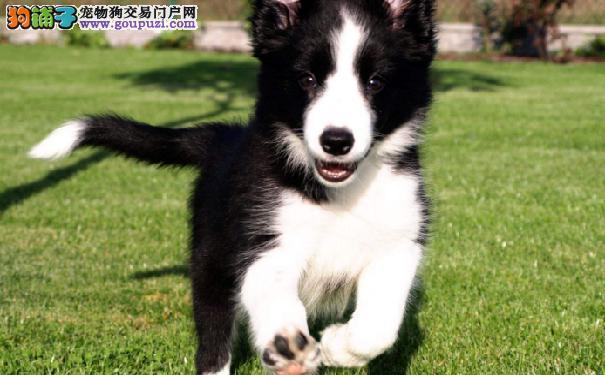 九种最适合家庭饲养的狗狗