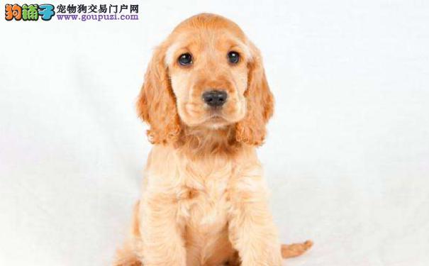 三个月大的可卡犬怎么养 可卡犬喂养注意事项