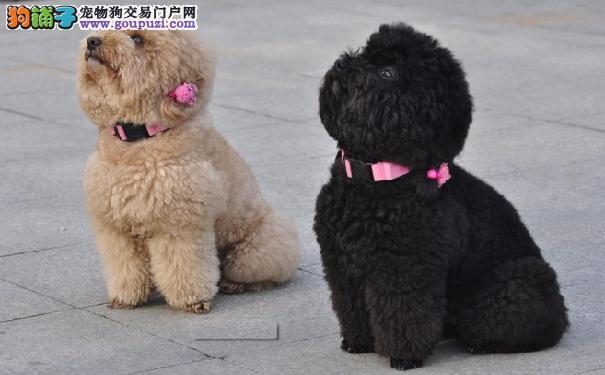 泰迪犬漂亮的秘诀 泰迪犬皮毛健康饮食梳理都重要
