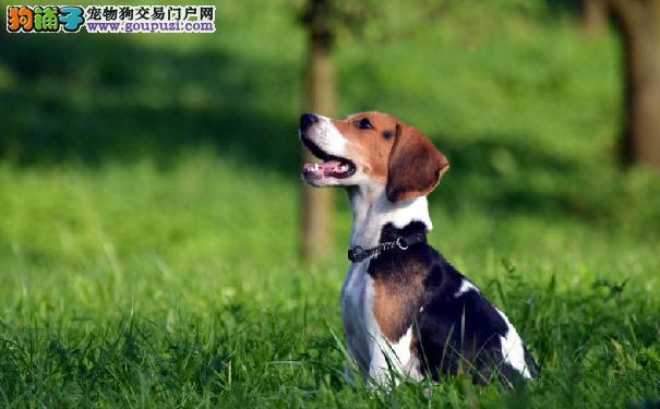 比格犬价格多少 好奇心强大的米格鲁猎兔犬