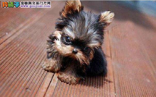 关于约克夏立耳 约克夏幼犬竖耳朵的时间