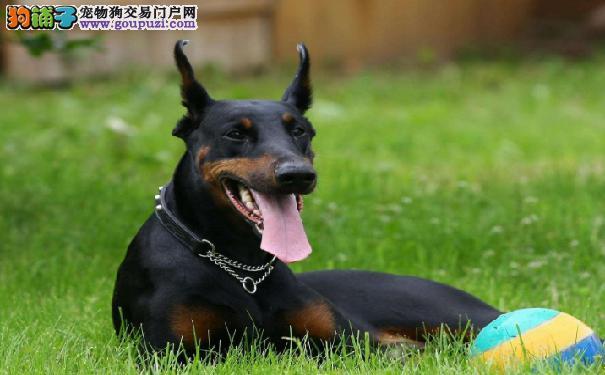 训练杜宾犬的要领 笃宾犬训练法则