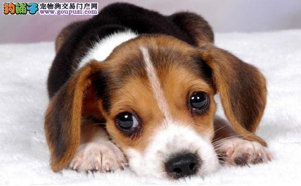 如何给比格犬清理耳朵 米格鲁猎兔犬耳朵护理不可忽视