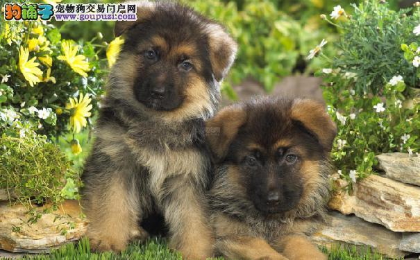 小德牧饲养方式及注意事项 德牧幼犬的喂养及照顾