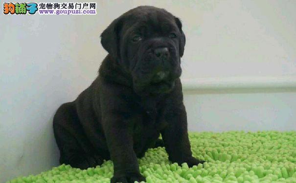 卡斯罗幼犬驯养时期卡斯罗幼犬驯养指南