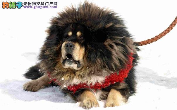 如何训练西藏獒犬 训练藏獒的注意事项
