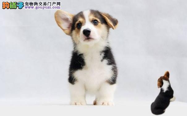 如何照顾新买的柯基犬幼犬 刚到家柯基幼犬照顾方法