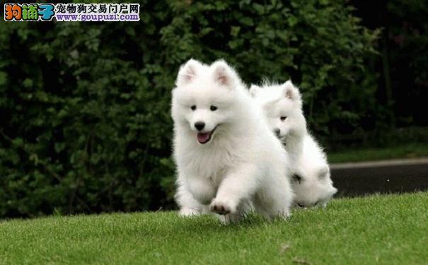 美丽的萨摩耶犬生病了怎么办 如何治疗萨摩耶