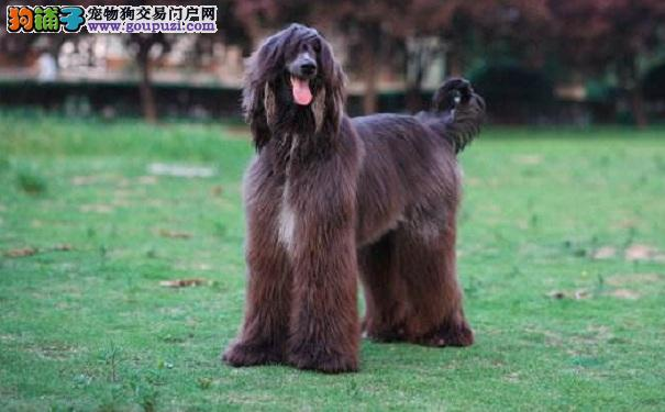 给阿富汗猎犬梳毛需要注意的事项