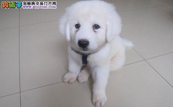 怎么给大白熊犬剪趾甲 大白熊剪指甲的方法