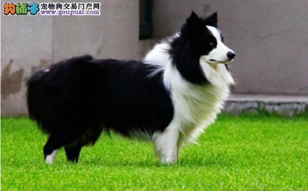边境牧羊犬太胖 帮边牧减肥的方法