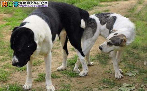 中亚牧羊犬吃甜食有哪些影响