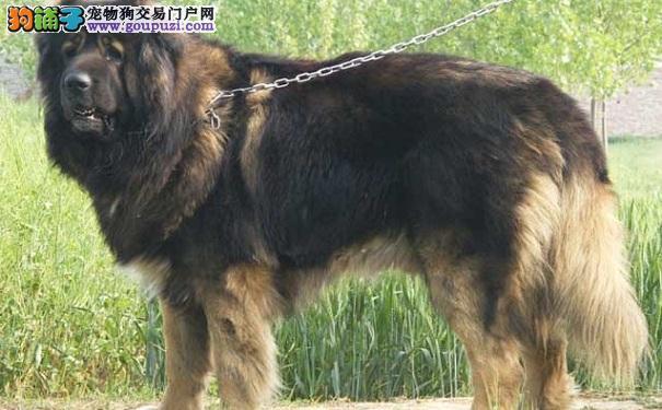 高加索犬贫血的原因 高加索贫血的解决办法