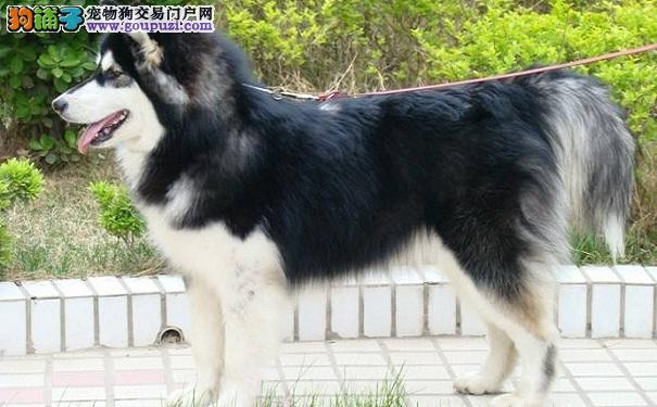 让阿拉斯加雪橇犬变胖变壮的方法