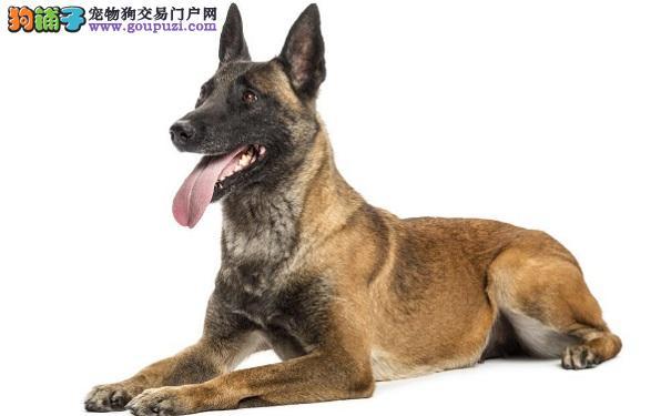 狼狗护理口腔的方法 预防狼犬患口腔疾病