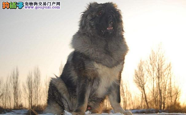高加索犬定点大小便的训练方法