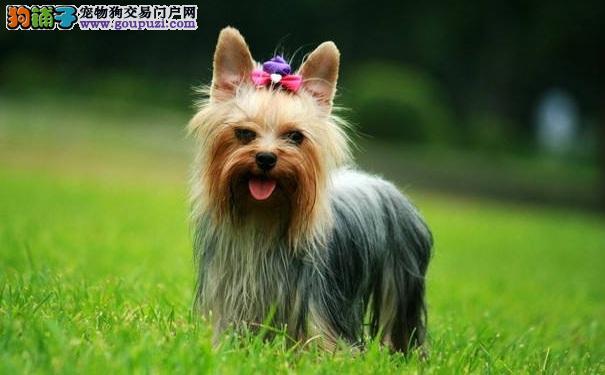 约克夏犬干洗的方法 胆小的约克夏犬的福音