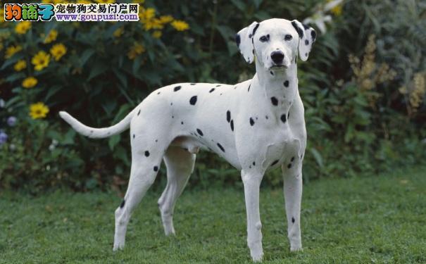 如何饲养斑点狗 饲养大麦町犬的重点