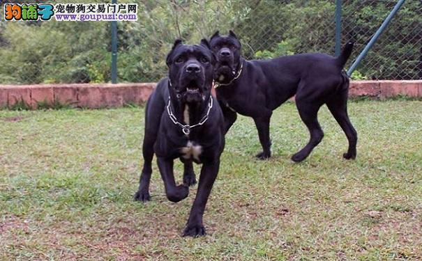 卡斯罗犬患犬瘟热的症状 犬瘟热的治疗及预防方法