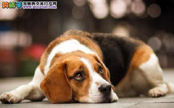 防止比格犬皮肤干燥 定期给米格鲁犬做护理