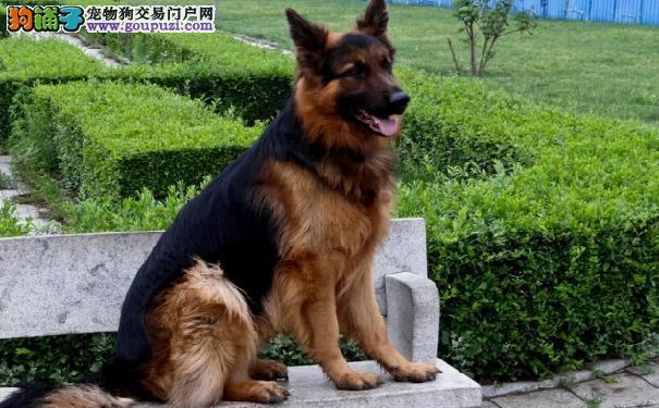德国黑贝好养吗 德国狼犬的生活习性