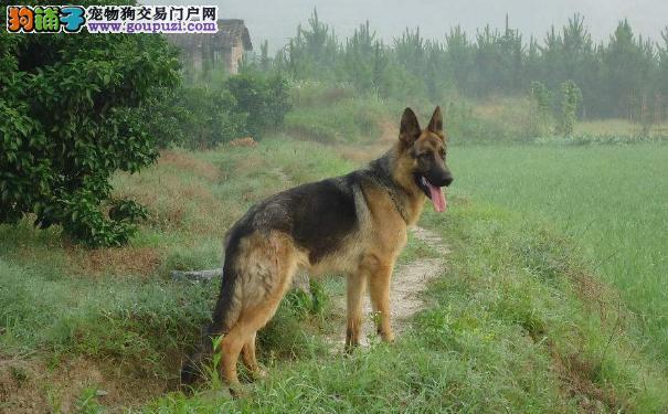 老年昆明犬的身体情况变化 老年昆明犬怎样饲养护理