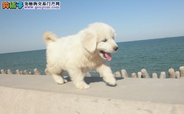 大白熊幼犬各阶段的饲养照顾 大白熊犬洗澡五步曲