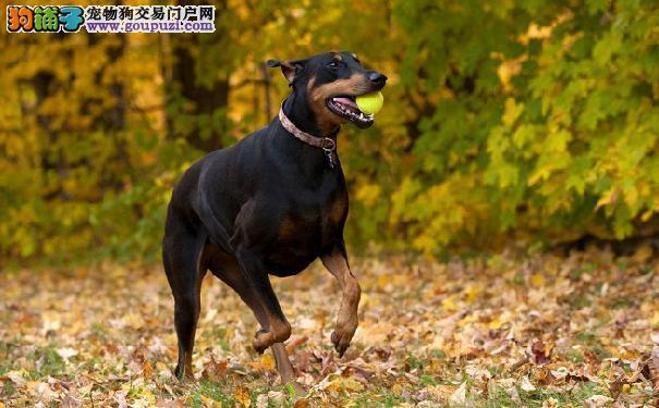 老年杜宾犬的表现症状 老年杜宾犬健康问题