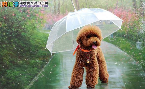 泰迪犬雨季外出必备小工具 泰迪犬雨季外出不用愁