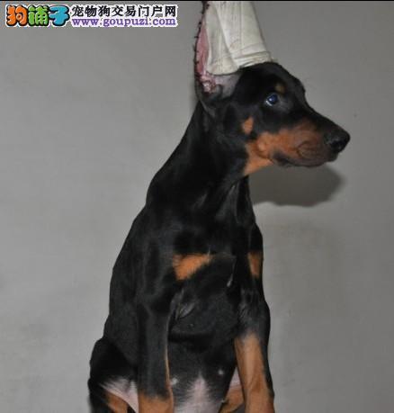 家养极品杜宾犬出售 可见父母颜色齐全品质一流三包终身协议