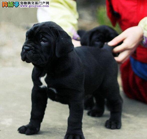 河南卡斯罗犬舍出售高端纯血统重头版大骨量卡斯罗幼犬