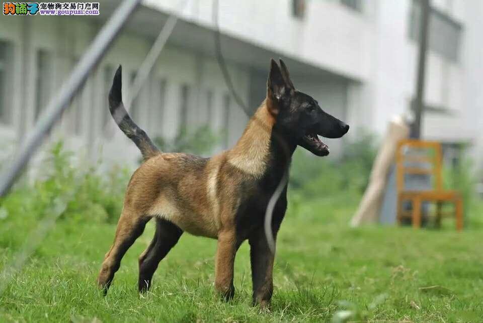 军犬警犬最可爱的朋友 比利时纯种血统马犬出售