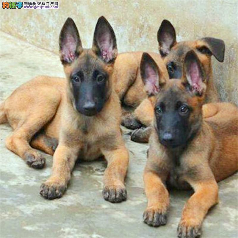 权威机构认证犬舍 专业培育马犬幼犬提供护养指导