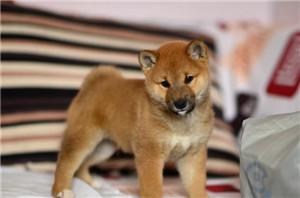 出售最新出窝的柴犬宝宝